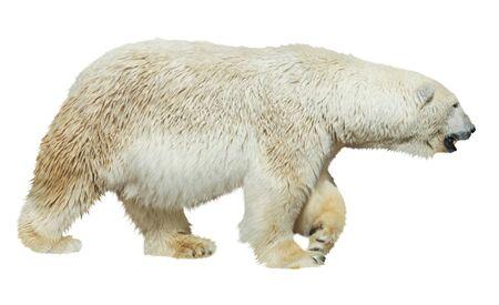 White polar bear isolated on white background