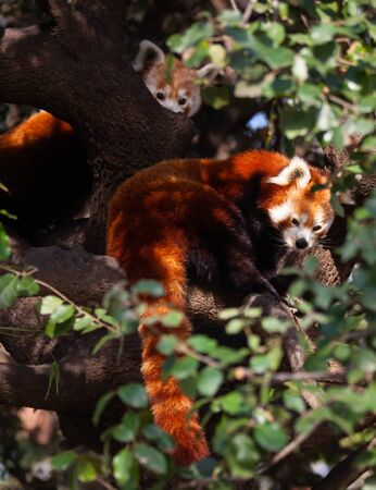 Red panda climbing and hiding on branches of green tree. Wild animal life