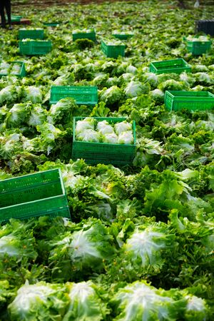 Closeup of plastic boxes with freshly harvested organic green lettuce on vegetable farm. Harvest time