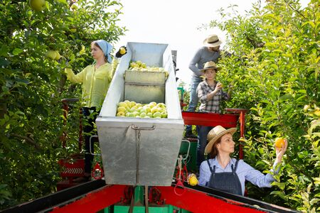 Farm workers picking ripe apples in garden on automatic harvesting platform