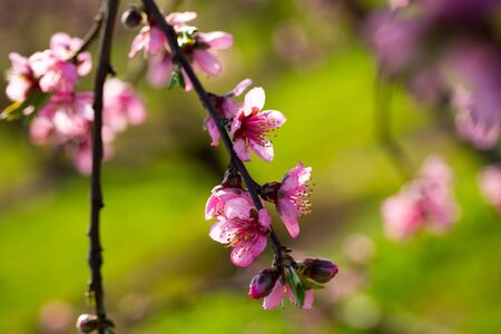 Close up of pink peach flowers on tree on sunny spring day