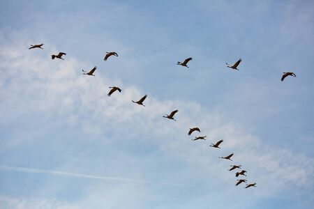 Migration of common cranes (Grus) from wintering. Birds flying in blue sky on spring day