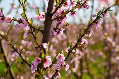 Flowering peach trees on field at sunny day