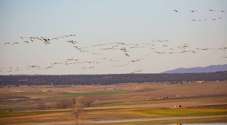 Large flock of cranes flying in sky against the backdrop of mountains in the Gallocanta area. Spain