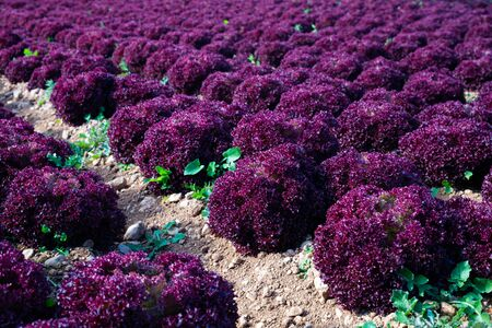 Closeup of ripe red leaf lettuce cultivars on large plantation in sunny day