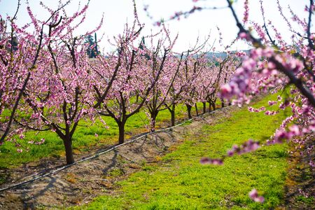 View of plantation of blooming peach trees at sunny spring day