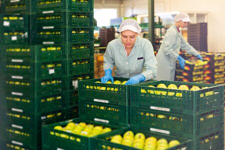 Focused adult woman working on fruit sorting line at warehouse, checking quality of apples in boxes 写真素材