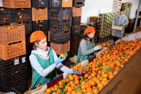 Group of serious  friendly  male and positive smiling female warehouse workers sorting ripe mandarins in fruit warehouse