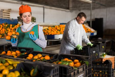 Female employee in colored uniform puts tangerines in packaging for sale