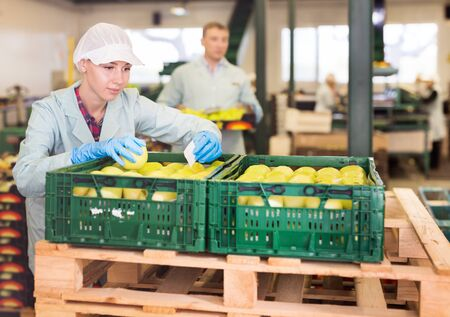 Skilled female employee in uniform inspecting quality of apples in the box in sorting factory