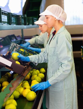Focused glad pleasant women working on fruit sorting line at warehouse, checking quality of apples