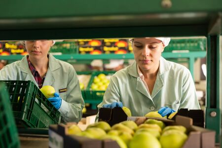 Young females workers sorting and preparing  apples for packaging at factory 写真素材