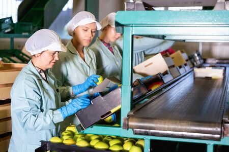 Focused efficient serious glad women working on fruit sorting line at warehouse, checking quality of apples 写真素材