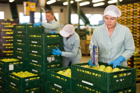 Young female employee  in uniform sticking labels on apples in crates at apples factory