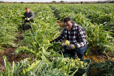 Portrait of men gardeners during harvesting of artichokes in garden