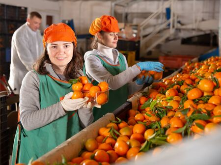 Nice female employees working on the producing sorting line at fruit warehouse, preparing mandarins for packaging and storing