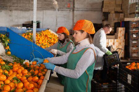 Female employee in colored uniform sorting fresh ripe mandarins on producing grading line