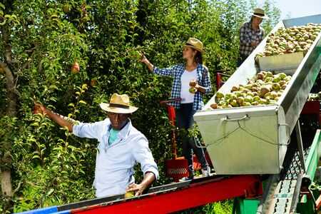 Harvesting season. Multinational team of farmers working on modern harvesting platform in fruit garden, picking ripe pears