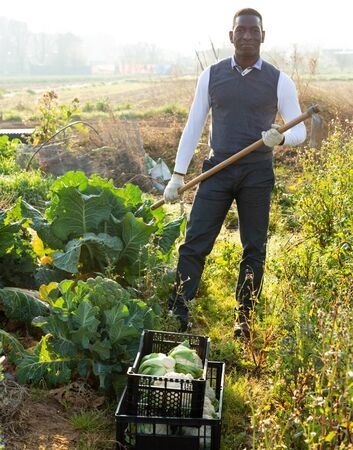 Portrait of African American male amateur gardener standing with hoe on his vegetable garden next to growing cauliflowers