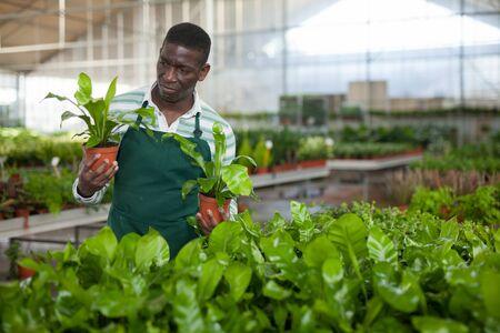 Focused African American salesman working in flower shop, checking potted seedlings of ornamental Asplenium antiquum