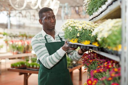 Experienced African American male florist engaged in cultivation of potted colorful marguerites daisy in greenhouse