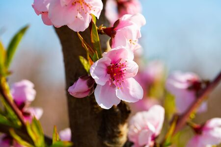 Close up view of blooming peach trees in fruit orchard Stok Fotoğraf