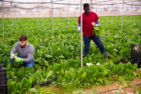 Two farm workers hand harvesting organic green chard crop at farm greenhouse