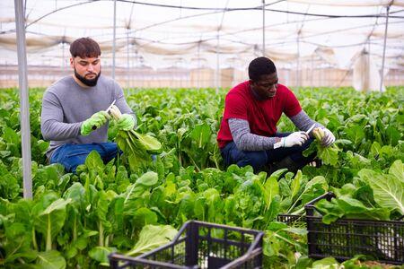 Skilled male farmers hand harvesting ripe green Swiss chard on farm plantation