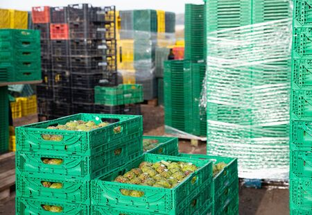 View of harvest of ripe green artichokes packed in plastic boxes ready for storage or delivery to stores