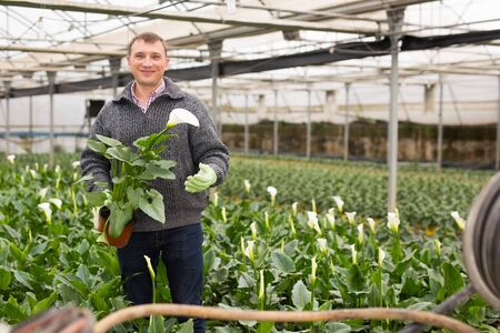 Farmer controlling process of growing of Calla aethiopica in glasshouse