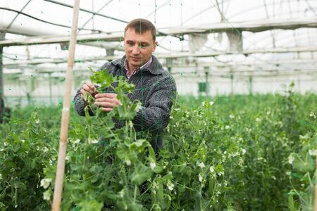 Focused farmer engaged in cultivation of organic vegetables, controlling growth of green peas in hothouse