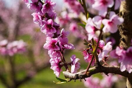Closeup of flowers on peach tree branch in spring time Stock fotó