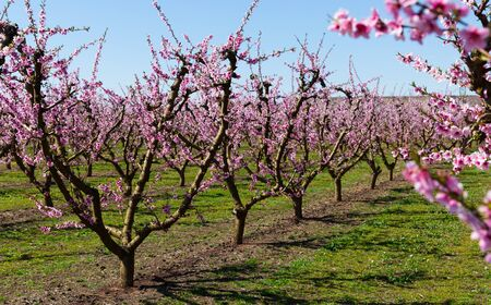 View of peach orchard in blossom in springtime