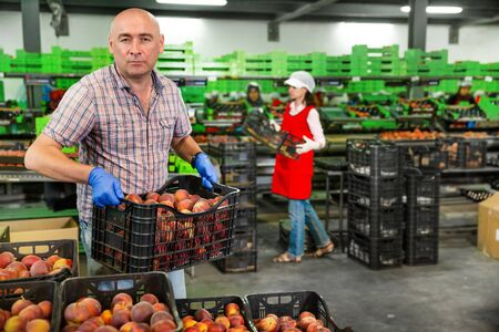 Focused workman engaged on fruit sorting line, carrying plastic box with peaches at storage