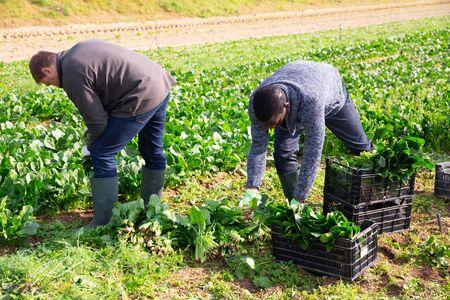 Men gardeners during harvestung of fresh spinach, working in garden outdoor