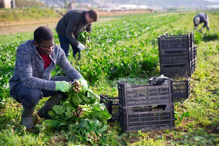 African American farmer hand harvesting ripe spinach cultivars on farm plantation