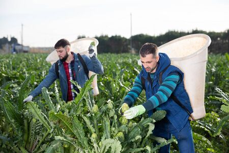 Focused workman with special backpack gathering in crops of ripe green artichokes on farm plantation Stock Photo