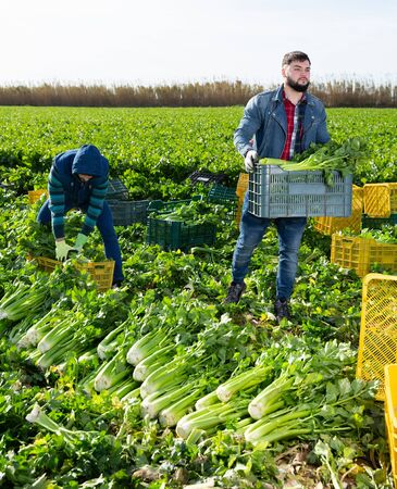 Young bearded worker carrying crates with freshly harvested celery on farm plantation