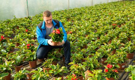 Positive male worker examining begonia seedlings while gardening in glasshouse