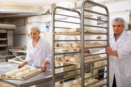 Attentive baker carrying formed products from raw dough on tray rack trolley in small bakery