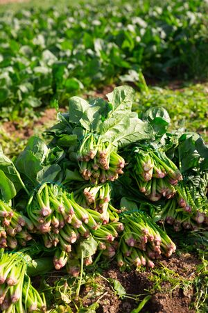Bunches of freshly picked green spinach on plantation in sunny day. Harvest time Stock Photo