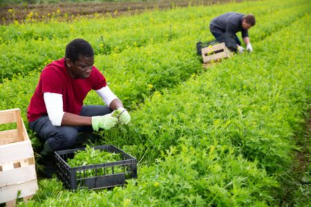 Skilled African American workman cutting fresh ripe green mizuna on farm field. Harvest time