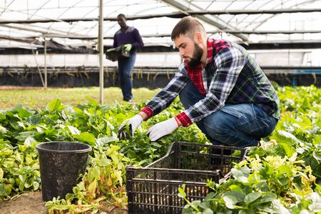 Two men controlling quality of young plants in glasshouse farm Stock Photo
