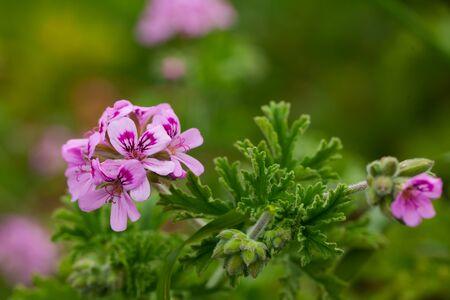 Closeup of pink mauve flowers of Pelargonium in natural habitat Stock Photo