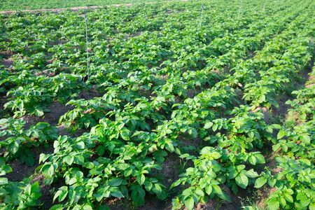 View of field planted with growing potato bushes. Cultivation of organic vegetable crops
