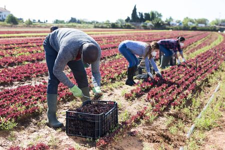 International team of workers in protective masks harvests red lettuce on the field Stock fotó