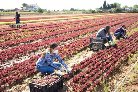 Several workers in protective masks collects red lettuce in box on the farmer field