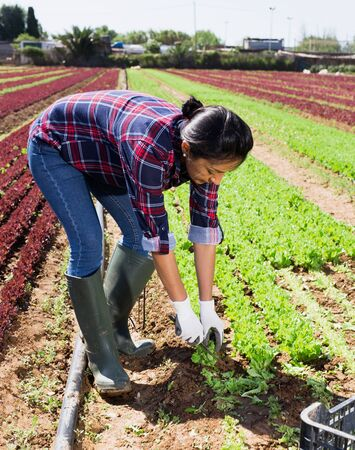 Focused peruvian female horticulturist gathering crop of green leaf lettuce on vegetable plantation in springtime
