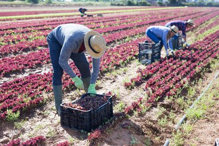 Several workers harvest red lettuce on the farmer field