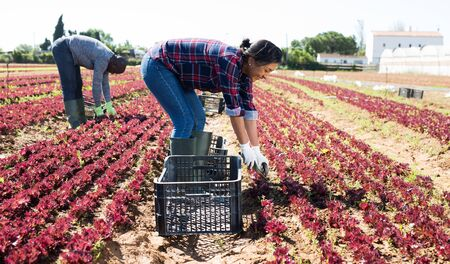 Adult Peruvian woman gathering crop of red leaf lettuce on vegetable plantation on sunny spring day